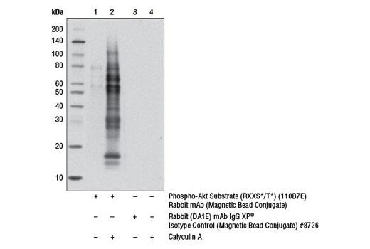 Monoclonal Antibody - Phospho-Akt Substrate (RXXS*/T*) (110B7E) Rabbit mAb (Magnetic Bead Conjugate) - 400 µl #8050, General Phospho-Ser/Thr/Tyr Antibodies