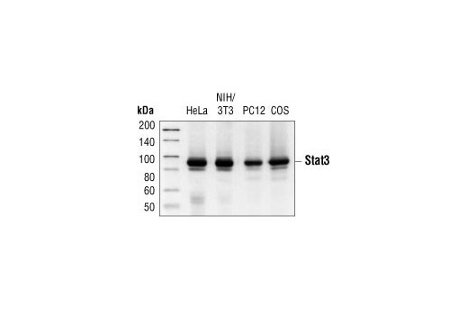 Western blot analysis of extracts from HeLa, NIH/3T3, PC12 and COS cells, using Stat3 (124H6) Mouse mAb.