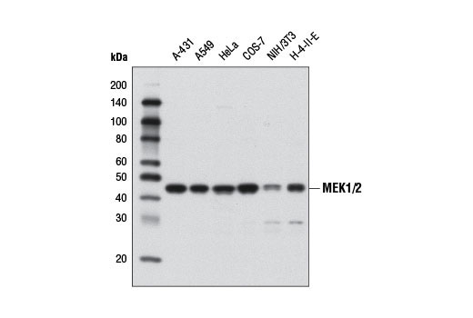 Western blot analysis of extracts from various cell lines using MEK1/2 (D1A5) Rabbit mAb.