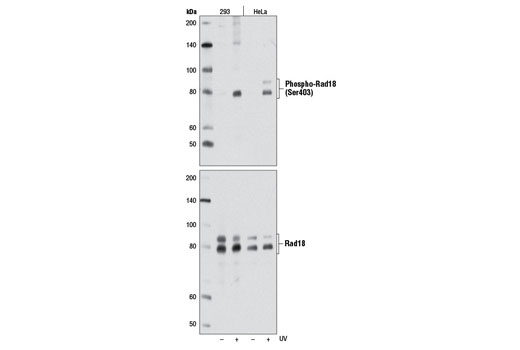 Polyclonal Antibody Immunoprecipitation Positive Regulation of Chromosome Segregation