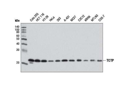 Western blot analysis of extracts from various cell lines using TCTP Antibody.