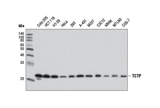 Polyclonal Antibody - TCTP Antibody - Western Blotting, UniProt ID P13693, Entrez ID 7178 #8441, Tctp