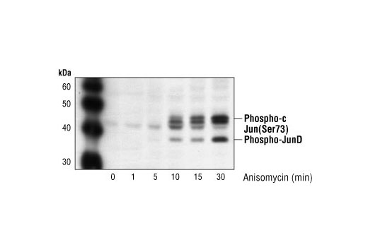 Western blot analysis of extracts from NIH/3T3 cells treated with anisomycin (25 ug/ml) for the indicated times, using Phospho-c-Jun (Ser73) Antibody #9164. The lower molecular weight band is phospho-JunD (Ser100).