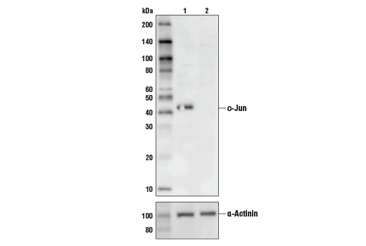 Western blot analysis of HeLa Cell Extracts, untreated (-) or c-Jun knock-out (+) using c-Jun (60A8) Rabbit mAb#9165 (upper) or α-Actinin (D6F6) XP®Rabbit mAb#6487 (lower).