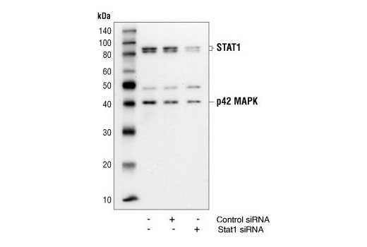 Western blot analysis of extracts from HeLa cells 48 hours following mock transfection, transfection with non-targeted (control) siRNA or transfection with Stat1 siRNA. Stat1 was detected using Stat1 Antibody #9172, and p42 was detected using p42 MAPK Antibody #9108. The Stat1 Antibody confirms silencing of Stat1 expression, and the p42 MAPK Antibody is used to control for protein loading and siRNA specificity.