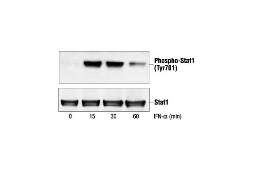 Western blot analysis of extracts from SK-MEL-28 cells, untreated or IFN-alpha-treated (100 ng/ml), using Phospho-Stat1 (Tyr701) Antibody #9171 (upper) or Stat1 Antibody (lower).
