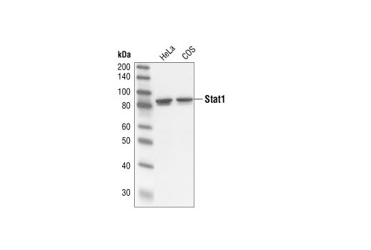 Western blot analysis of extracts from HeLa and COS cells, using Stat1 (42H3) Rabbit mAb (Human Specific).