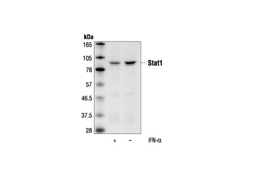 Western blot analysis of extracts from HeLa cells, untreated or IFN-alpha-treated (100 ng/ml for 5 minutes), using Stat1 (9H2) Mouse mAb.