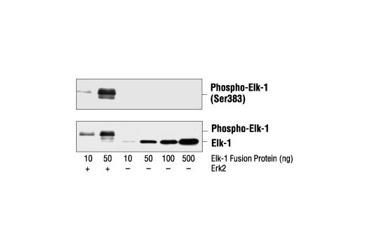 Western blot analysis of Elk-1 fusion protein expressed from E. coli with or without phosphorylation by purified Erk2 enzyme, using Phospho-Elk-1 (Ser383) Antibody (upper) or control Elk-1 Antibody #9182 (lower).