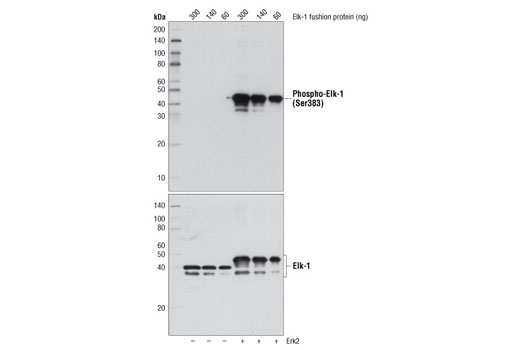 Protein Control Kit Western Blotting Cell Differentiation