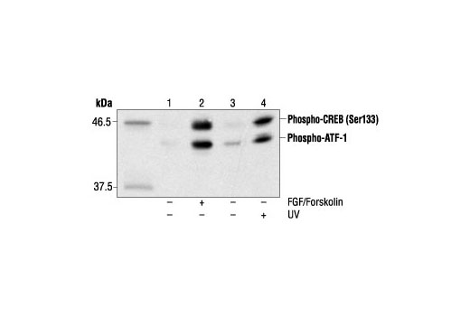 Western blot analysis of extracts from SK-N-MC cells, untreated or treated with forskolin and FGF(lanes 1 and 2) or 293 cells. untreated or UV treated (lanes 3 and 4), using Phospho-CREB (Ser133) (1B6) Mouse mAb.