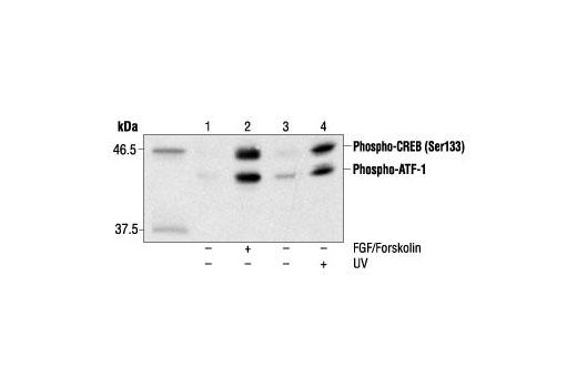 Monoclonal Antibody - Phospho-CREB (Ser133) (1B6) Mouse mAb - Western Blotting, UniProt ID P16220, Entrez ID 1385 #9196, Htrf