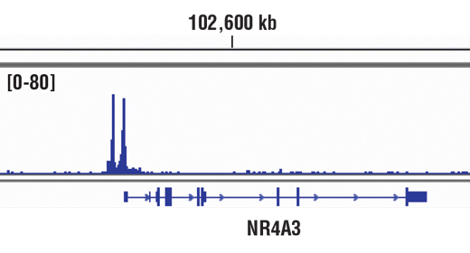 Chromatin immunoprecipitations were performed with cross-linked chromatin from 293 cells treated with Forskolin #3828 (30 μM) for 1h and 10 μl of CREB (48H2) Rabbit mAb, using SimpleChIP<sup>®</sup> Enzymatic Chromatin IP Kit (Magnetic Beads) #9003. DNA Libraries were prepared using SimpleChIP<sup>®</sup> ChIP-seq DNA Library Prep Kit for Illumina<sup>®</sup> #56795. The figure shows binding across NR4A3, a known target gene of CREB (see additional figure containing ChIP-qPCR data). For additional ChIP-seq tracks, please download the product data sheet.