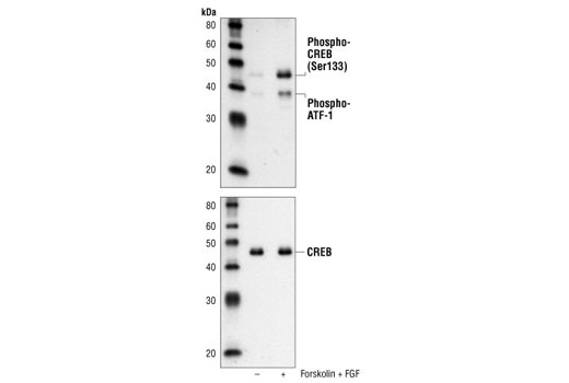 Western blot analysis of extracts from SK-N-MC cells, untreated or forskolin- and FGF-treated, using Phospho-CREB (Ser133) (87G3) Rabbit mAb (upper) or CREB (48H2) Rabbit mAb #9197 (lower).