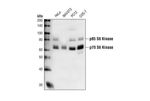 Western blot analysis of extracts from HeLa, NIH-3T3, PC12 and COS-7 cells using p70 S6 Kinase Antibody.