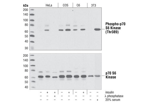 Western blot analysis of HeLa, COS, C6 and 3T3 cells, serum-starved overnight, then treated with insulin, lambda-phosphatase or 20% serum as indicated. Upper panel probed with Phospho-p70 S6 Kinase (Thr389) Antibody #9205; lower panel probed with p70 S6 Kinase Antibody #9202.