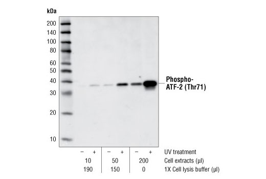 p38 MAPK activity of UV-treated or untreated C6 cell extracts was analyzed by IP/kinase assay. Cell extracts were immunoprecipitated with Phospho-p38 MAPK (Thr180/Tyr182) Mouse mAb (Sepharose<sup>®</sup> Bead Conjugate). <i>In vitro</i> kinase assays were performed using ATF-2 Fusion Protein #9224 as a substrate. Phosphorylation of ATF-2 at Thr71 was measured by Western blot using Phospho-ATF-2 (Thr71) Antibody.
