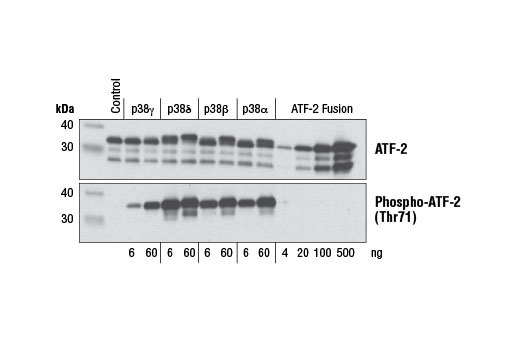 Image 1: ATF-2 Fusion Protein