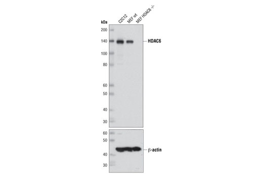 Western blot analysis of extracts from C2C12 cells, wild-type mouse embryonic fibroblasts (MEFs), and HDAC6 (-/-) MEFs using HDAC6 (D21B10) Rabbit mAb (upper) or β-Actin (13E5) Rabbit mAb #4970 (lower).