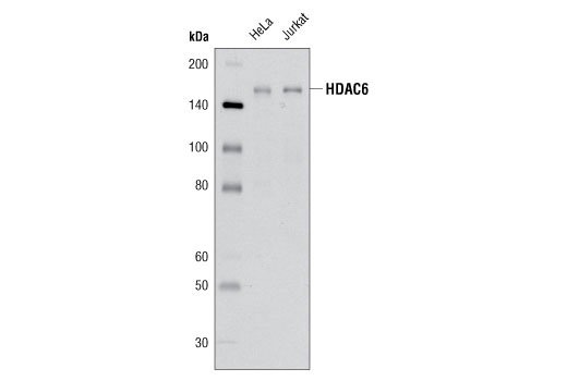 Western blot analysis of extracts from HeLa and Jurkat cells using HDAC6 (D21B10) Rabbit mAb.