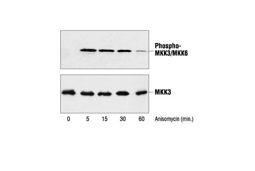 Polyclonal Antibody Ovulation Cycle