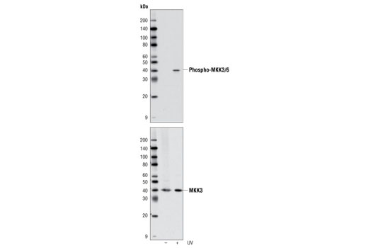Western Blotting Image 1: MKK3/MKK6 Control Cell Extracts