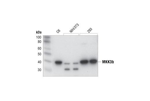 Polyclonal Antibody - MKK3b Antibody - Immunoprecipitation, Western Blotting, UniProt ID P46734, Entrez ID 5606 #9238, Mkk3