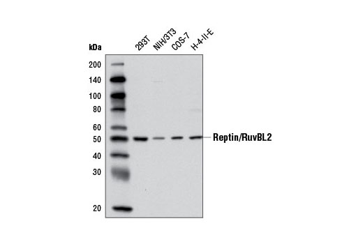 Western blot analysis of extracts from various cell lines using Reptin/RuvBL2 Antibody.