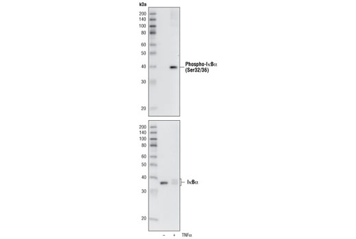 Western blot analysis of extracts from NIH/3T3 cells, untreated orTNF-α-treated (#2169, 20 ng/ml) for 5 minutes, using Phospho-IκBα (Ser32/36) (5A5) Mouse mAb (upper) or IκBα (L35A5) Mouse mAb (Amino-terminal Antigen) #4814 (lower).