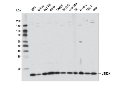 Monoclonal Antibody Immunoprecipitation Dna Double-Strand Break Processing