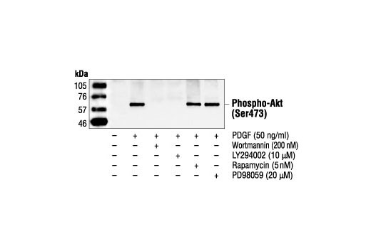 Western blot analysis of extracts from NIH/3T3 cells, untreated or treated with PDGF, wortmannin, LY294002, rapamycin or PD98059, using Phospho-Akt (Ser473) Antibody.