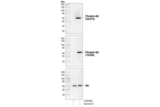 Cell Extract Kit - Akt Control Cell Extracts - Western Blotting - 200 µl #9273 - Pi3k / Akt Signaling
