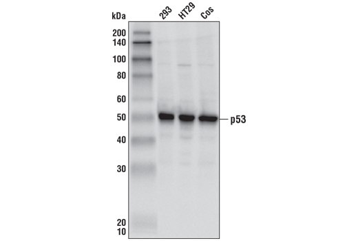 Polyclonal Antibody Chromatin IP Regulation of Apoptosis