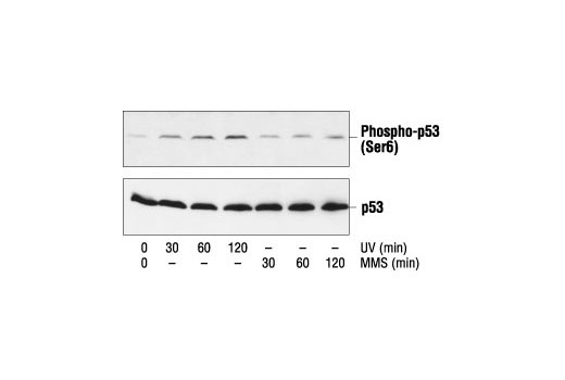 Western blot analysis of extracts from COS cells treated with UV or MMS for the indicated times, using Phospho-p53 (Ser6) Antibody (upper) or p53 Antibody #9282 (lower).