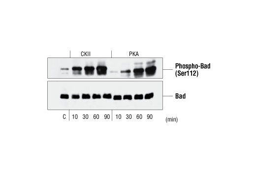 Image 10: PhosphoPlus® Bad (Ser112/136) Antibody Kit