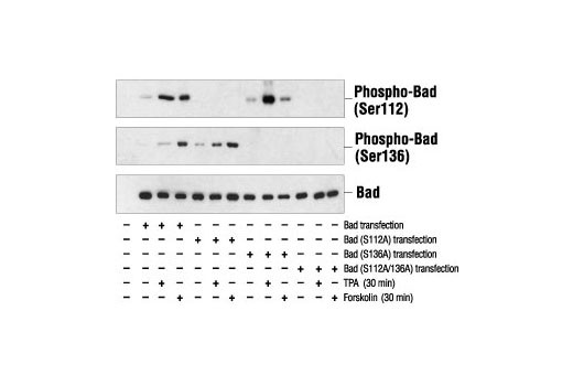 Western blot analysis of extracts from 293 cells transfected with Wild-type Bad, Bad (S112A), Bad (S136A) or Bad (S112A/S136A), untreated, TPA-treated or forskolin-treated, using Phospho-Bad (Ser112) Antibody #9291 (top), Phospho-Bad (Ser136) Antibody (middle) or Bad Antibody #9292 (bottom).