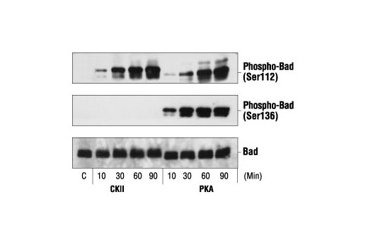 Image 7: PhosphoPlus® Bad (Ser112/136) Antibody Kit