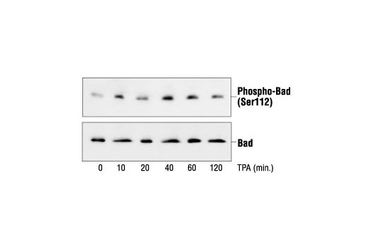 Western blot analysis of extracts from COS cells untreated or TPA-treated, using Phospho-Bad (Ser112) (7E11) Mouse mAb (upper) or Bad Antibody #9292 (lower).