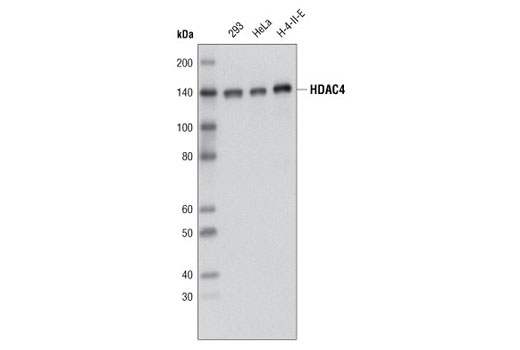 Western blot analysis of extracts from various cell lines using HDAC4 (D15C3) Rabbit mAb.