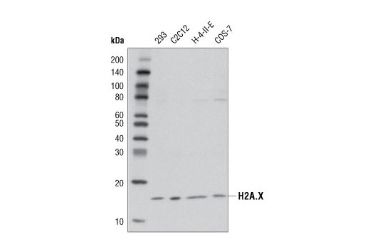 Western blot analysis of extracts from various cell lines using Histone H2A.X (D17A3) XP<sup>®</sup> Rabbit mAb.