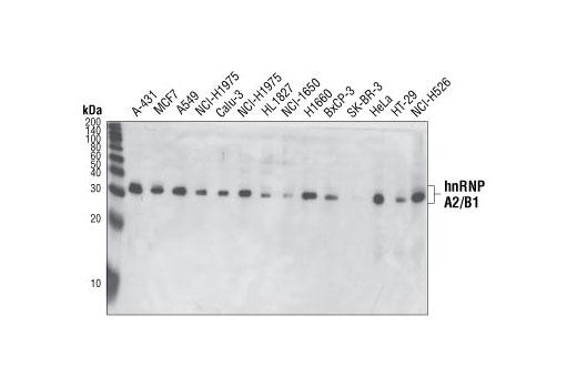 Monoclonal Antibody Western Blotting Single-Stranded Telomeric Dna Binding