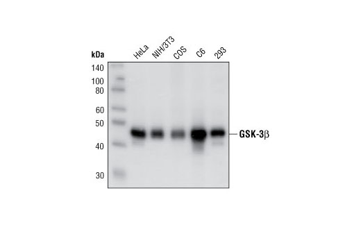Western blot analysis of extracts from HeLa, NIH/3T3, COS, C6 and 293 cells using GSK-3β (27C10) Rabbit mAb.