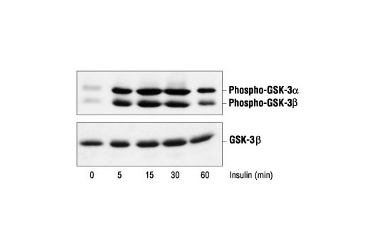 Polyclonal Antibody - Phospho-GSK-3α/β (Ser21/9) Antibody - Western Blotting, UniProt ID P49840, Entrez ID 2931 #9331, Antibodies to Kinases