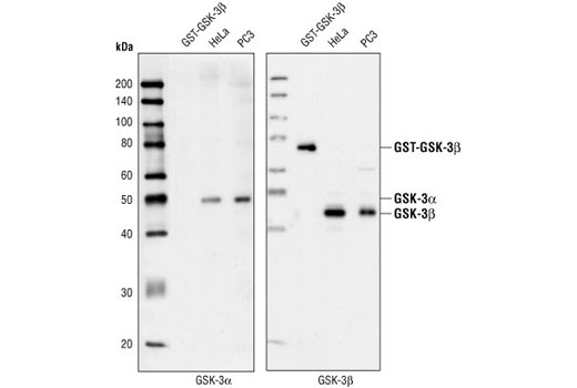 Western blot analysis of recombinant GST-GSK-3beta protein (76kD), and extracts from HeLa and PC3 cells, using GSK-3alpha Antibody (left) and GSK-3beta Antibody (right).