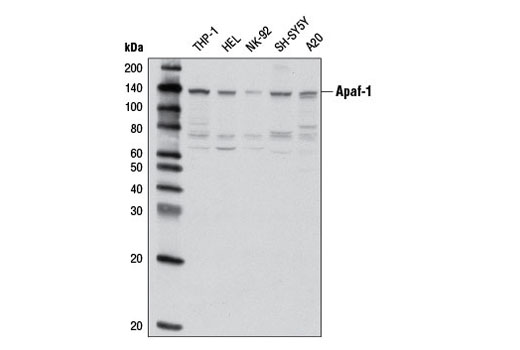Western blot analysis of extracts from various cell lines using Apaf-1 (D5C3) Rabbit mAb.