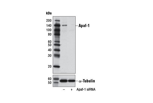 Western blot analysis of extracts from HeLa cells, transfected with 100 nM SignalSilence<sup>®</sup> Control siRNA (Unconjugated) #6568 (-) or SignalSilence<sup>®</sup> Apaf-1 siRNA I #6229 (+), using Apaf-1 (D5C3) Rabbit mAb (upper) or α-Tubulin (11H10) Rabbit mAb #2125 (lower). The Apaf-1 (D5C3) Rabbit mAb confirms silencing of Apaf-1 expression, while the α-Tubulin (11H10) Rabbit mAb is used as a loading control.