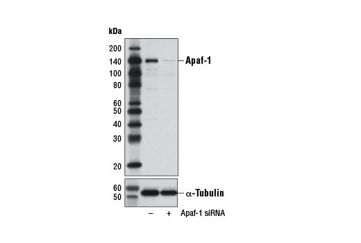 Western blot analysis of extracts from HeLa cells, transfected with 100 nM SignalSilence<sup>®</sup> Control siRNA (Unconjugated) #6568 (-) or SignalSilence<sup>®</sup> Apaf-1 siRNA I (+), using Apaf-1 (D7G4) Rabbit mAb #8723 (upper) or α-Tubulin (11H10) Rabbit mAb #2125 (lower). The Apaf-1 (D7G4) Rabbit mAb confirms silencing of Apaf-1 expression, while the α-Tubulin (11H10) Rabbit mAb is used as a loading control.