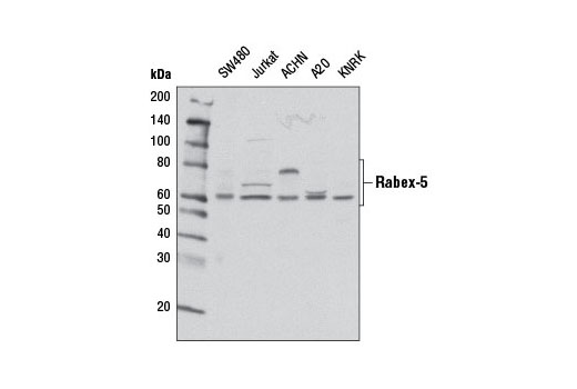 Western blot analysis of extracts from various cell lines using Rabex-5 (D21F12) Rabbit mAb.