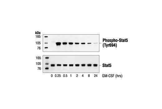 Western blot analysis of extracts from TF-1 cells, treated with GM-CSF (25 ng/ml) for the indicated times, using Phospho-Stat5 (Tyr694) Antibody (upper) or Stat5 antibody (lower).