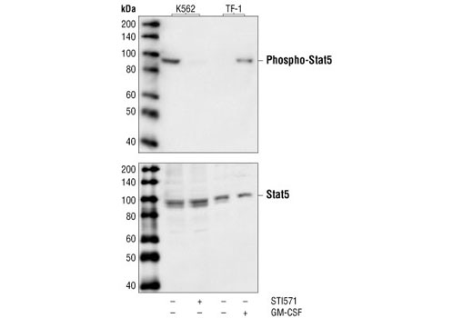 Western blot analysis of extracts from  K562 and TF-1 cells, untreated, STI571-treated or GM-CSF-treated as indicated, using Phospho-Stat5 (Tyr694) (14H2) Mouse mAb (upper) or Stat5 Antibody (lower).
